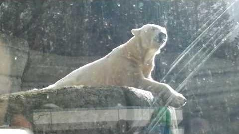 Eisbär (Ursus maritimus) im Zoo München - 22. Februar 2014