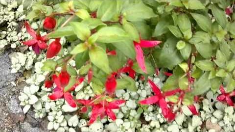"""Fuchsia-Hybride """"Charming"""" im Botanischen Garten Augsburg - 14. September 2013"""