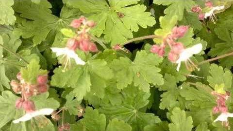 """Balkan-Storchschnabel """"Spessart"""" (Geranium macrorrhizum) im Botanischen Garten Augsburg - 21. Mai 2013"""