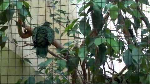 Blauflügel-Blattvogel (Chloropsis cochinchinensis) im Zoo Augsburg - 29. März 2013