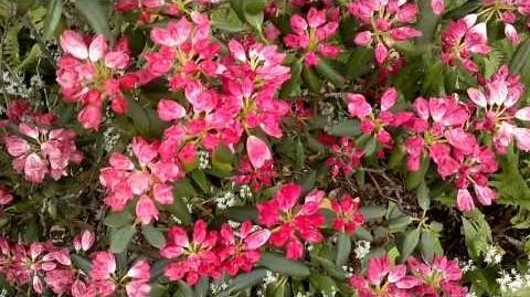 """Alpenrose """"Fantastica"""" (Rhododendron-Yakustimarum-Hybriden) im Botanischen Garten Augsburg - 21. Mai 2013"""
