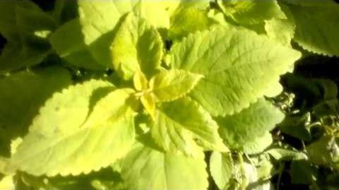"""Buntnessel """"Life Lime"""" (Solenostemon scutellarioides) im Botanischen Garten Augsburg - 15. Juni 2013"""