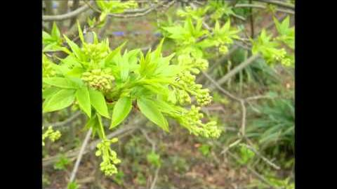 FOTOVIDEO Kolchische Pimpernuss (Staphylea colchica) im Botanischen Garten Augsburg
