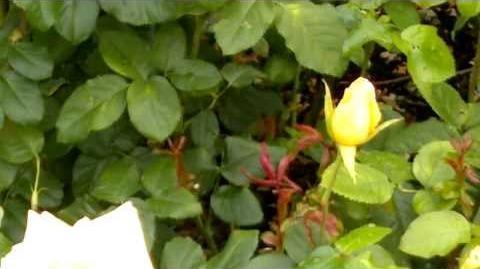 """Edelrose """"Diva"""" im Botanischen Garten Augsburg - 14. September 2013"""