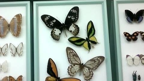 Schmetterlinge (Lepidoptera) im Naturmuseum Augsburg - 07. März 2014