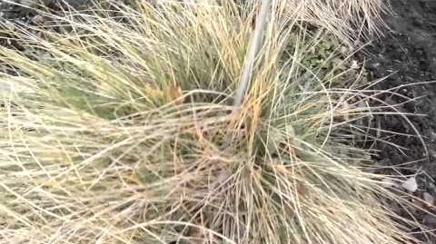 Amethystschwingel (Festuca Amethystina) im Botanischen Garten Augsburg - 08. Januar 2014