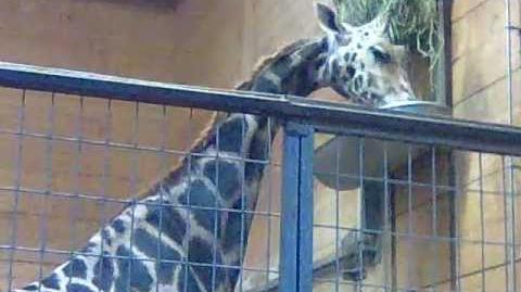 Rothschildgiraffe (Giraffa camelopardalis rothschildi) im Zoo Augsburg - 14. November 2012