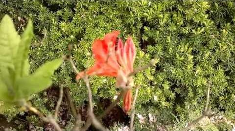 """Alpenrose """"Lavendula"""" (Rhododendron x Hybriden) im Botanischen Garten Augsburg - 21. Mai 2013"""