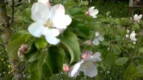 """Apfel-Spindelbusch """"Reanda"""" im Botanischen Garten Augsburg - 07. Mai 2013"""