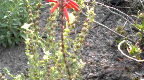 Aloe succotrina im Botanischen Garten Augsburg - 06. August 2013