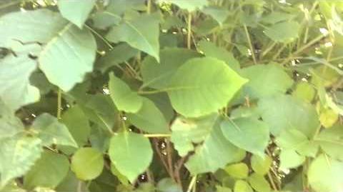 Eichenblättrige Giftsumach (Rhus toxicodendron L) oder Giftsumach im Botanischen Garten Augsburg - 16. August 2013