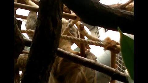 Eigentliches Zweifingerfaultier (Choloepus didactylus) im Zoo München - 22. Februar 2014