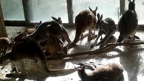 Rotes Riesenkänguru (Macropus rufus) im Zoo München - 22. Februar 2014