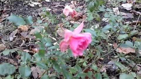 """Bodendeckerrose """"Wildfang"""" - Noack 1989 - im Botanischen Garten Augsburg - 30. November 2013"""