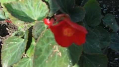 """Begonie """"Flamboyant"""" (Begonia multiflora) im Botanischen Garten in Augsburg - 5. Juni 2012"""