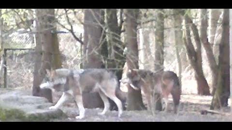 Europäischer Wolf (Canis l. lupus) im Zoo München - 22. Februar 2014