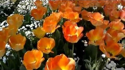 """Darwin-Hybrid-Tulpen """"Daydream"""" (Tulipa) im Botanischen Garten Augsburg - 24. April 2014"""