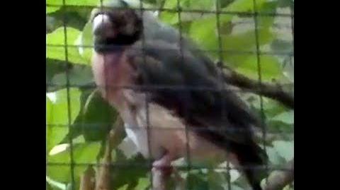 Unbekannter kleiner Vogel mit schwarzem Kopfring im Zoo Augsburg - 04. November 2013