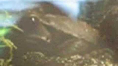 Tropfenkröte (Bufo guttotus) im Zoo Augsburg - 02. Juni 2012