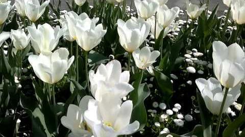 "Fosteriana-Tulpe ""White Emperor"" (Tulipa fosteriana) im Botanischen Garten Augsburg - 24. April 2014"