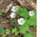 Wald-Sauerklee (Oxalis acetosella) 25. April 2010