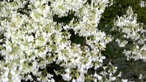 Dreigabliger Steinbrech (Saxifraga trifurcata Schrader) im Botanischen Garten Augsburg - 19. April 2014