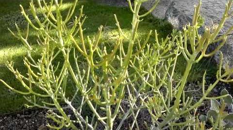 Euphorbia intisy im Botanischen Garten Augsburg - 05. September 2013