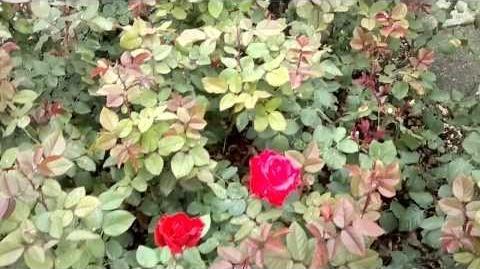 """Edelrosen """"Grande Amore"""" im Botanischen Garten Augsburg - 14. September 2013"""