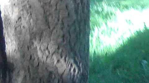 Amur-Korkbaum (Phellodendron amurense) im Botanischen Garten in Augsburg - 15. Mai 2012