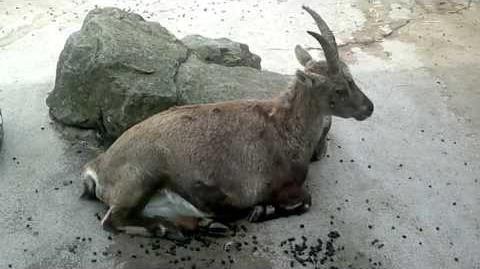 Alpensteinbock (Capra ibex)2 im Zoo Augsburg - 26. April 2013