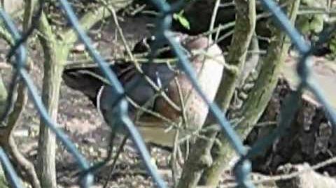 Baikalente (Anas formosa, syn. Nettion formosum) sitzt im Gebüsch und putzt sich im Zoo Augsburg - 25. April 2012