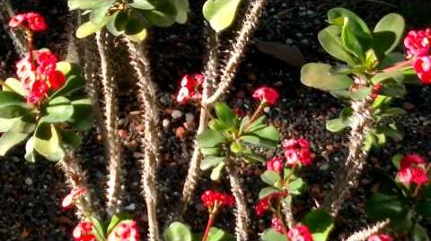 """Christusdorn """"rot"""" (Euphorbia milii) im Botanischen Garten Augsburg - 05. September 2013"""