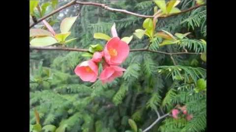 FOTOVIDEO Japanische Zierquitte (Choenomeles japonica) im Botanischen Garten Augsburg