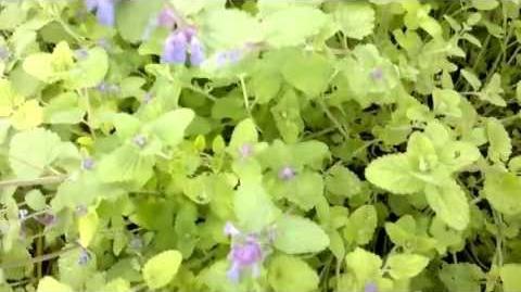 """Trauben-Katzenminze """"Superba"""" (Nepeta racemosa) im Botanischen Garten Augsburg - 21. Mai 2013"""