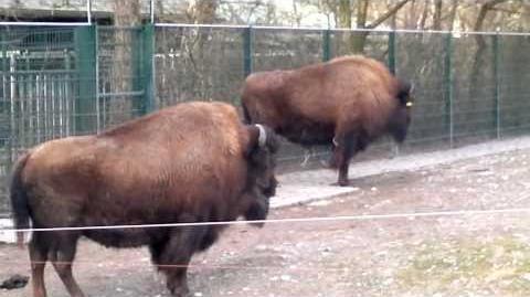 Waldbison oder Amerikanische Bison (Bison bison) im Zoo München - 22. Februar 2014