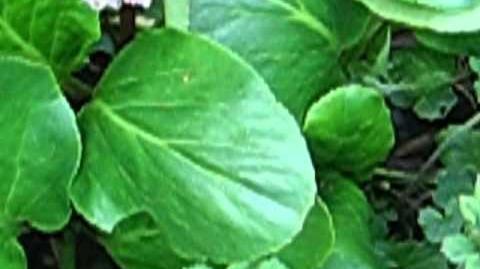 """Bergenie """"Silberlicht"""" (Bergenia cordifolia) im Botanischen Garten in Augsburg - 11. Mai 2012"""