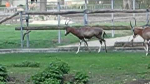 Buntbock oder Blessbock (Damaliscus pygargus) läuft durch sein Gehege im Zoo Augsburg - 25. April 2012