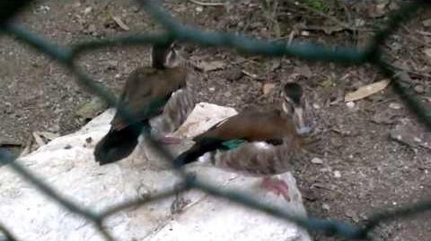 Unbekannte Ente im Zoo Augsburg - 04. Mai 2013