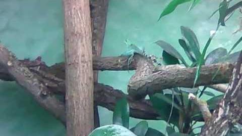 Stirnlappenbasilisk (Basiliscus plumifrons) im Zoo Augsburg - 14. November 2012