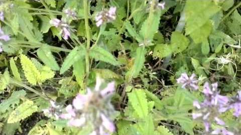 Echte Betonie (Stachys officinalis (L.) im Botanischen Garten Augsburg - 16. August 2013