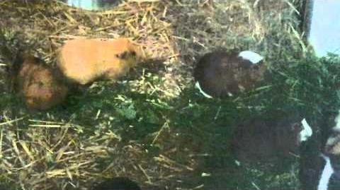 Meerschweinchen (Cavia aperea porcellus) im Zoo Augsburg - 10. Mai 2013