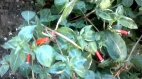 Zigarettenblümchen (Cuphea ignea) im Botanischen Garten Augsburg
