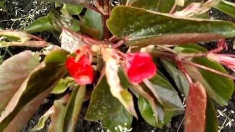 """Begonie """"Dragon Wings Red"""" (Begonia-Hybriden) im Botanischen Garten Augsburg - 04. Juni 2013"""