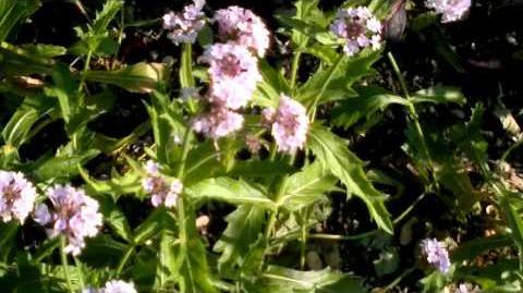 """Eisenkraut """"Polaris"""" (Verbena rigida) im Botanischen Garten Augsburg - 22. Juni 2013"""