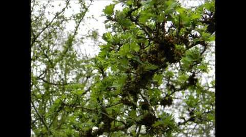 FOTOVIDEO Zweigriffeliger Weißdorn (Oxyacantha L. var. alba plenta) im Botanischen Garten Augsburg