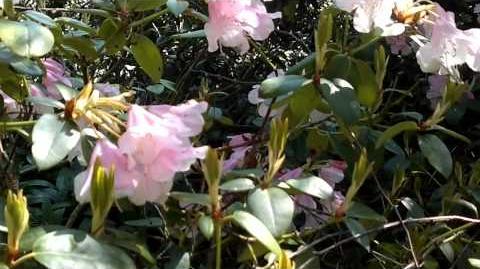 Vorfrühlings-Alpenrose (Rhododendron x praecox) im Botanischen Garten Augsburg
