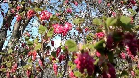 Blut-Johannisbeere (Ribes sanguineum) im Botanischen Garten Augsburg - 28. März 2014