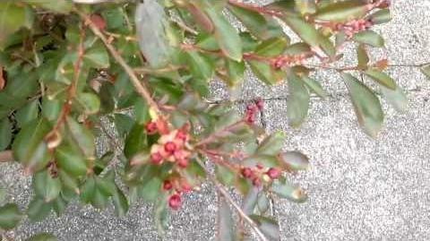 """Chinesische Kräuselmyrte """"Red Imperator"""" (Lagerstroemia indica) im Botanischen Garten Augsburg - 29. August 2013"""