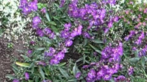 """Angelonie """"Angelface Blue"""" (Angelonia gardneri) im Botanischen Garten Augsburg - 21. November 2012"""