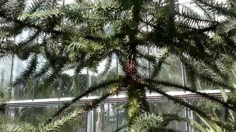 Brasilianische Araukarie (Araucaria angustifolia) im Botanischen Garten Augsburg - 21. Mai 2013